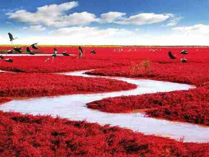 Река Ляохэ, на берегах которой растут удивительные водоросли, которые к осени приобретают алый цвет, создавая впечатление, что побережье покрыто огромной красной дорожкой.