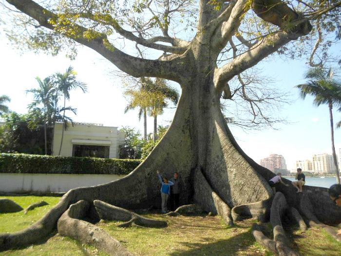 Большое старое дерево.