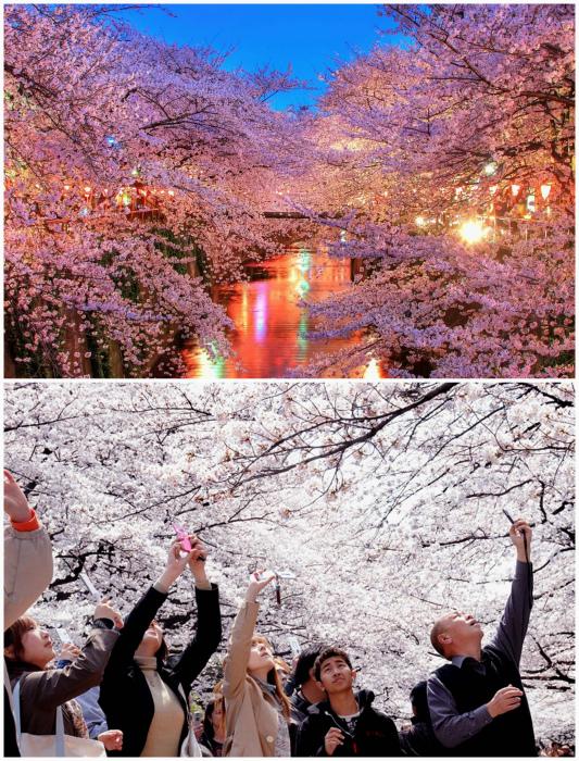 Цветущие сакуры во всей красе.