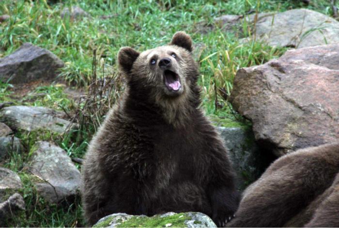 Скучающий медведь.