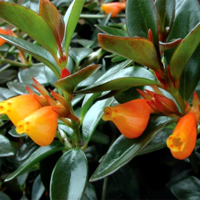 Травянистое растение с красивыми цветами.