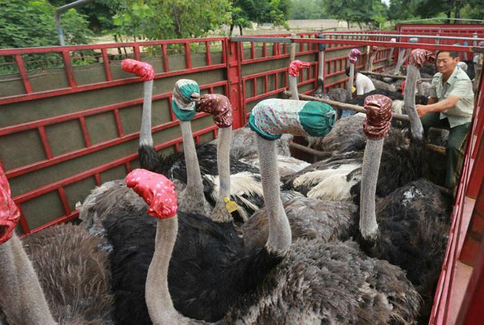 Перевозка страусов.