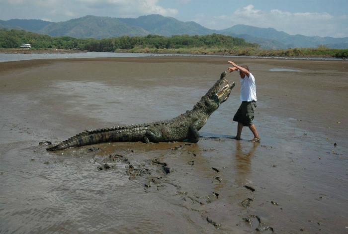 Дрессировка крокодила. | Фото: Pikabu.