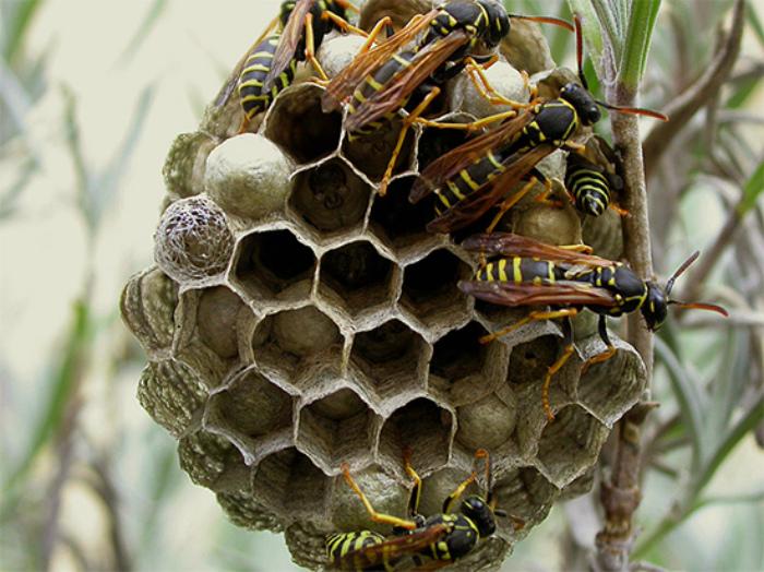 Гнезда ос. | Фото: klop911.ru.