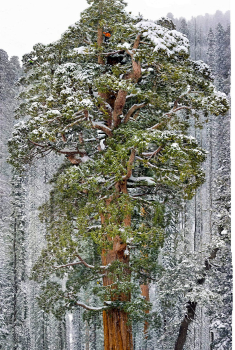 Большая секвойя и маленький человечек. | Фото: Reddit.