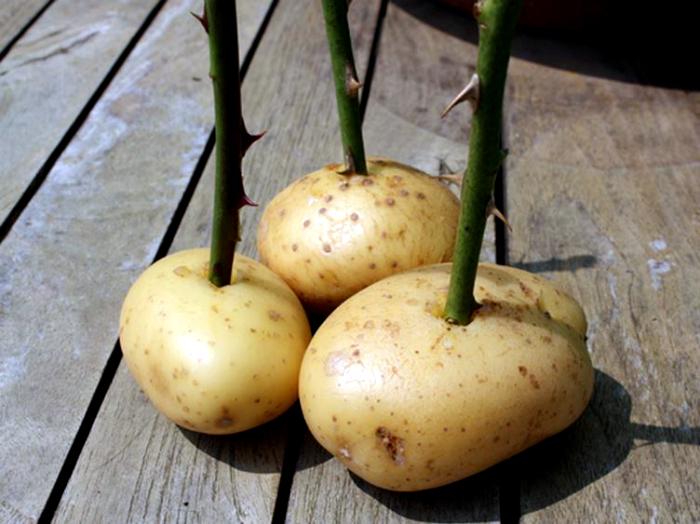 Черенки роз в картошке.