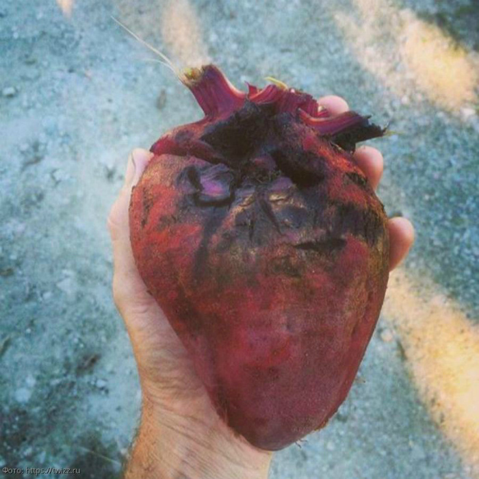 Свекла, которая выглядит, как сердце.   Фото: Экспресс-Новости.