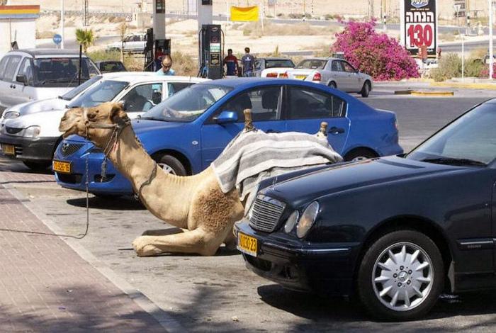 Припарковал своего верблюда. | Фото: Christenen voor Israël.