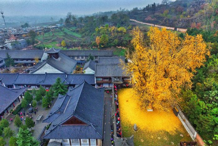 Старейшее дерево в китайском монастыре.