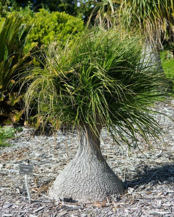 Нолина, Бокарнея или бутылочная пальма.