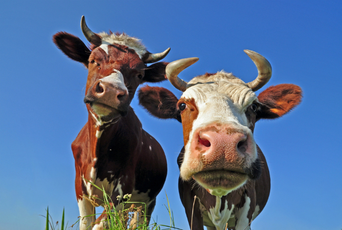 Кормление скота.