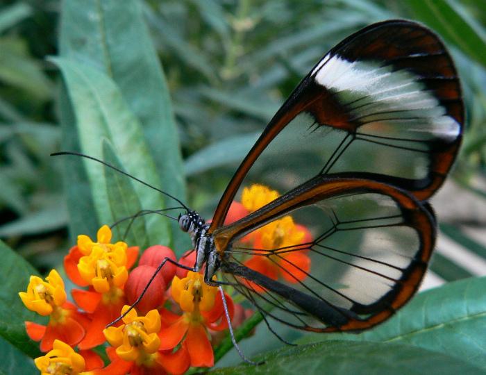Удивительная расцветка крыльев у бабочки.