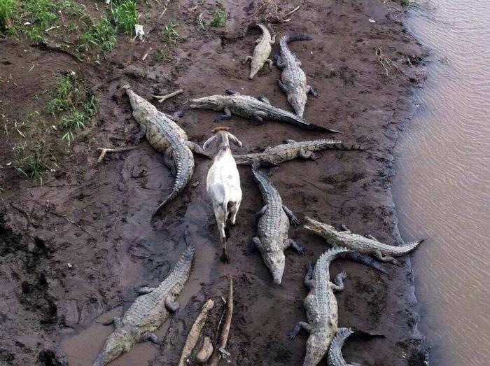 Храбрая коза.