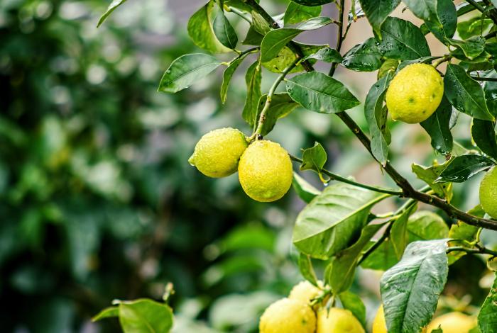 Лимон от комаров.