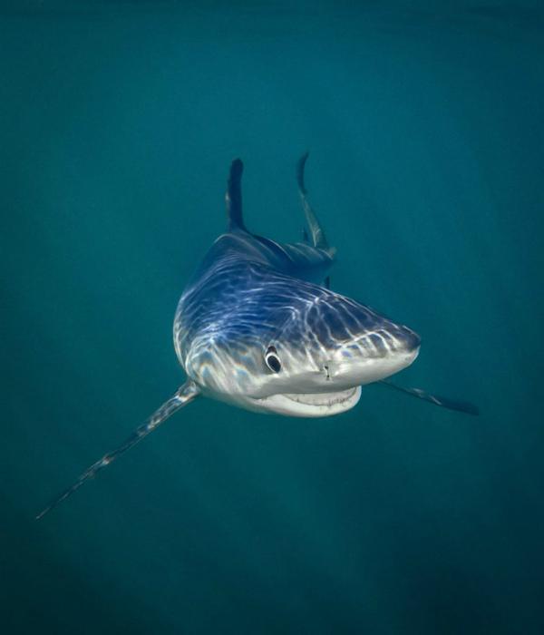 Улыбчивая акула.