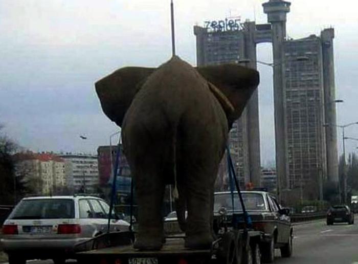 Транспортування слона.