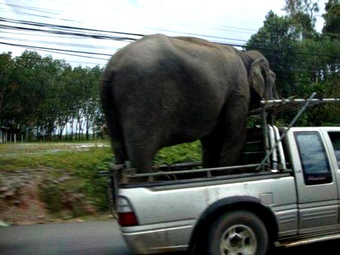 Теперь слон будет жить у нас.