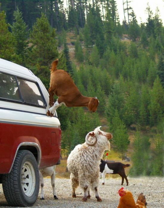 Один день из жизни горного козла. | Фото: Travelask.