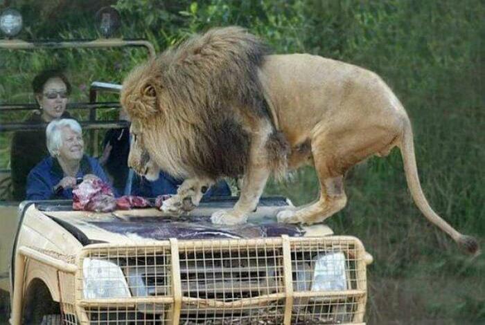 Ничего страшного, это просто лев! | Фото: FROM Life.