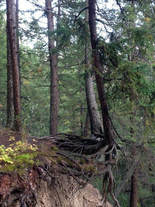Дерево, растущее у обрыва.