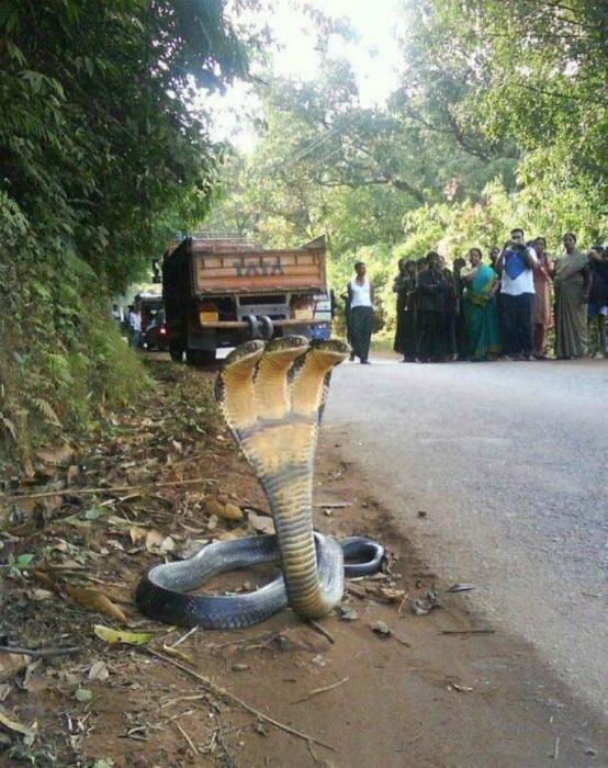 Трехголовая змея.