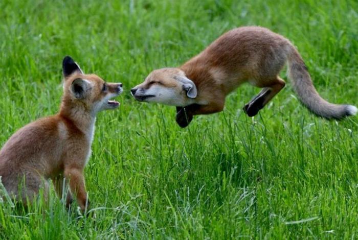 Как ссорятся лисички. | Фото: Squee!