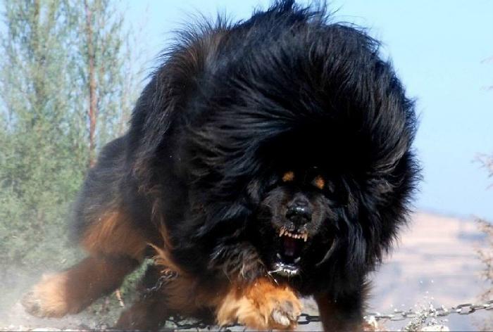 Представитель самой крупной породы собак - тибетский мастиф.