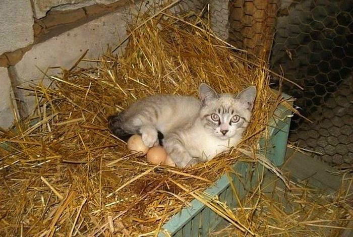 Главная интрига - куда делась настоящая наседка. | Фото: Love Meow.