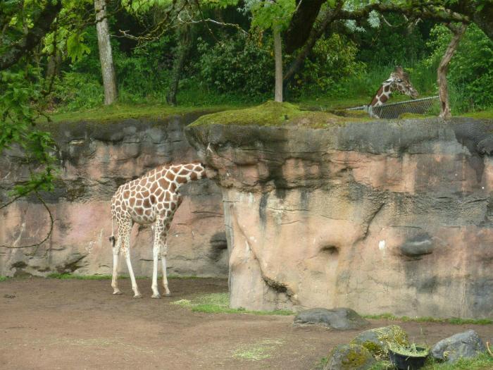 comodín de la jirafa.