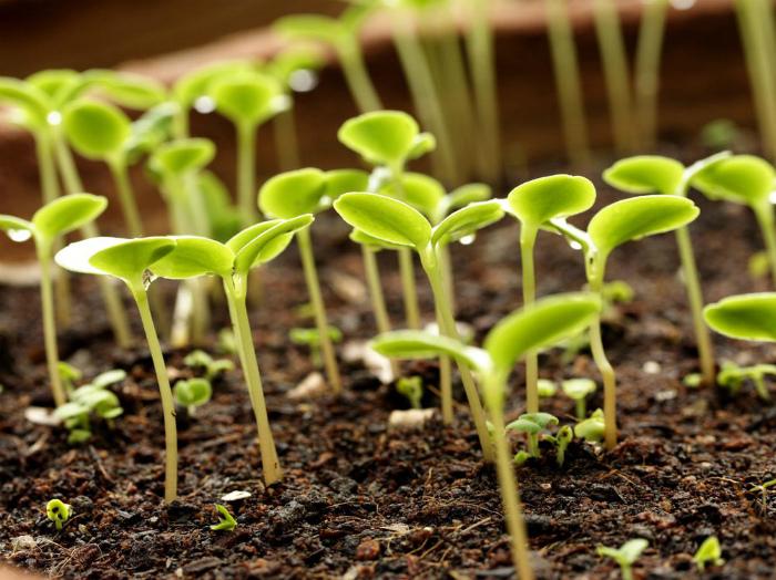 Загущенный посев семян.