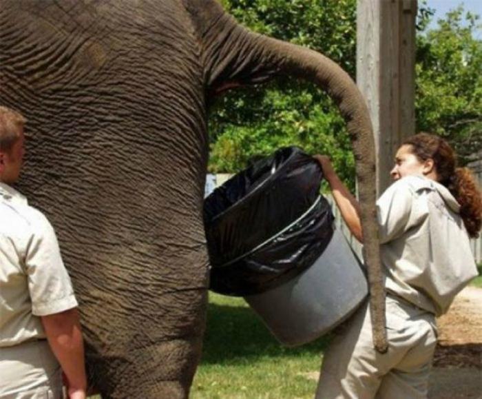 Уборщик за слонами.