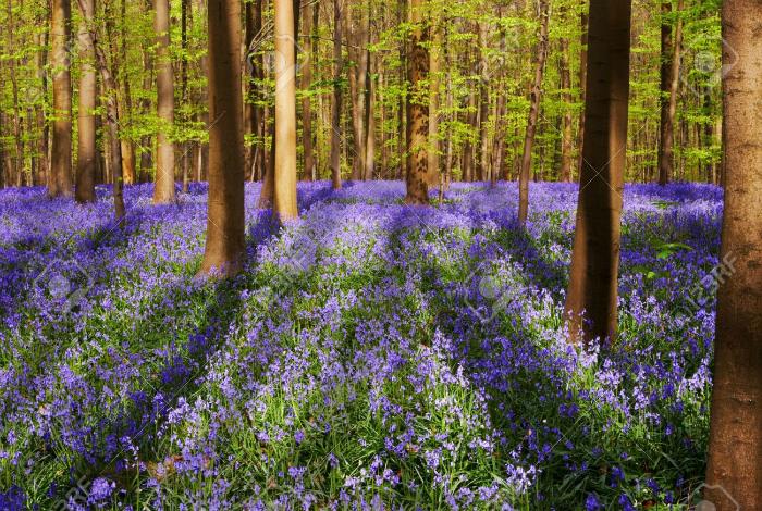 Невероятно красивый древний лес Халлербос во время цветения колокольчиков.