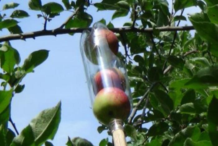 Самодельное приспособление для сбора плодов.