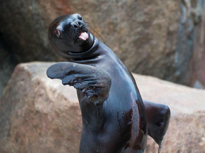 Танцующий морской котик.