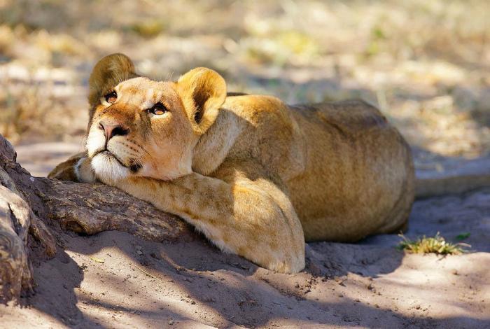Мечтающая львица.