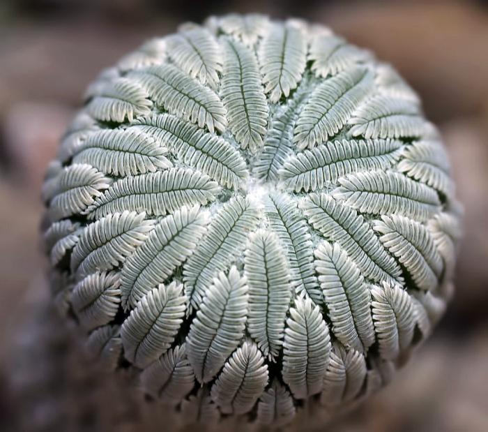 Редкий вид кактуса.