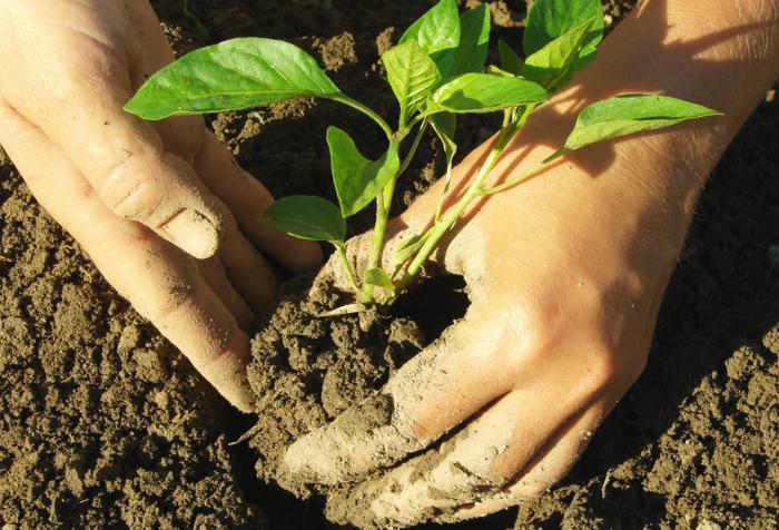 Поздняя высадка ростков в почву.
