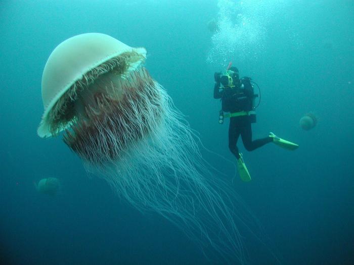 Арктическая медуза во всей красе.