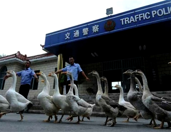 Служебные собаки по-китайски.