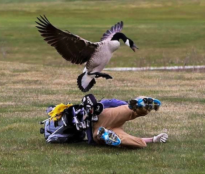 Враждебно настроенная птица. | Фото: Pinterest.