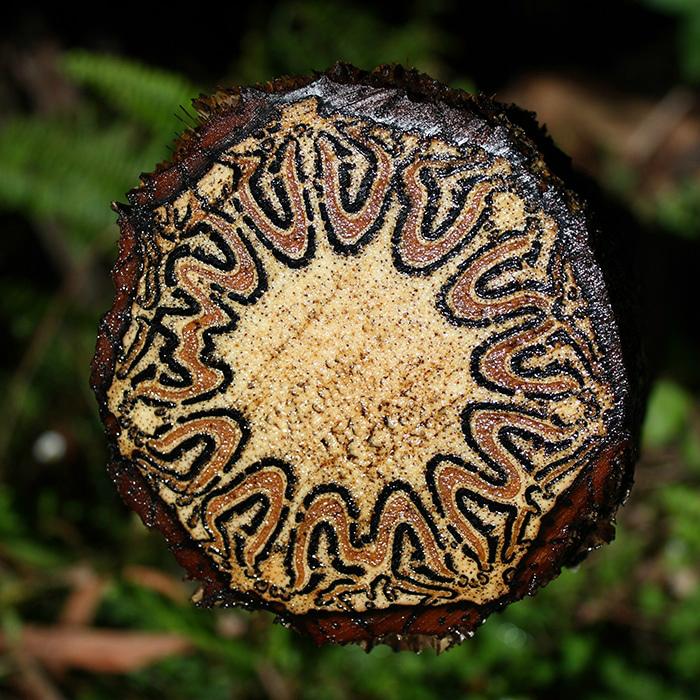 Срез древовидного папоротника. | Фото: Boing Boing.