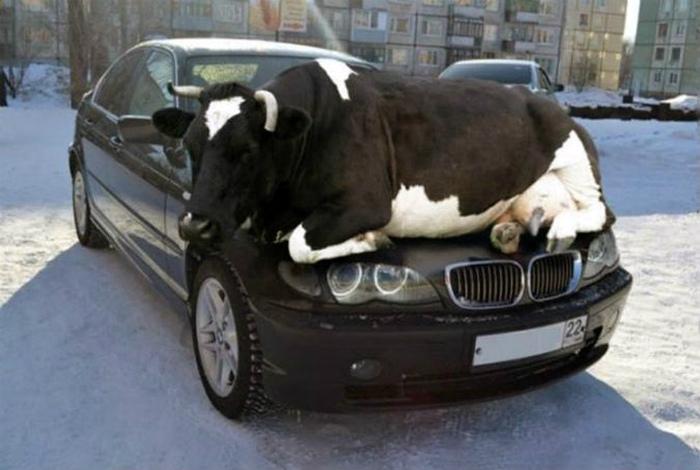 Верная корова на капоте.