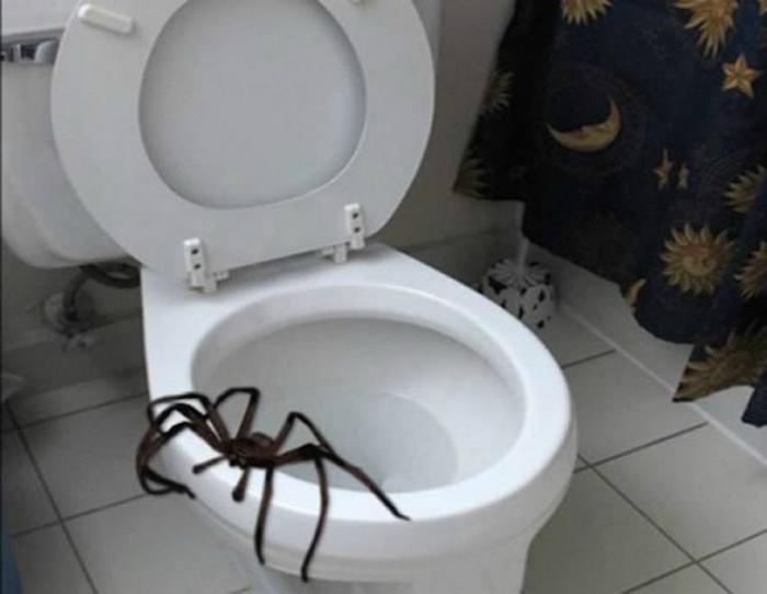 Огромный паук в унитазе.