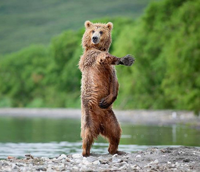 Танцующий медведь.