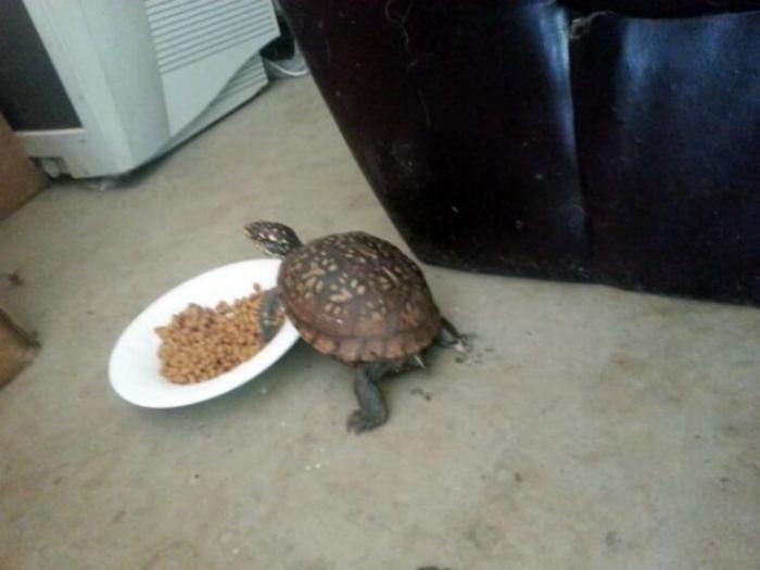 Черепаха-воришка.