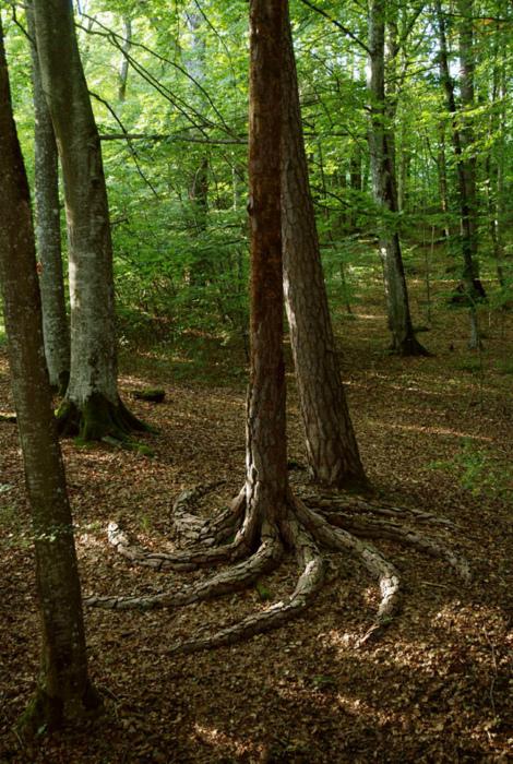 Закрученные корни.