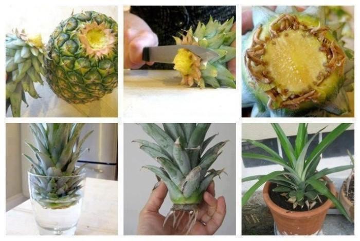 Если верхушку ананаса посадить в землю можно вырастить настоящий ананас.