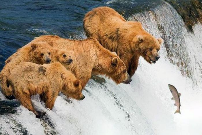 Голодные медведи на рыбалке.