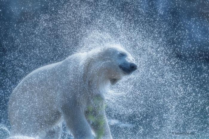 Белый медведь отряхивается от снега.