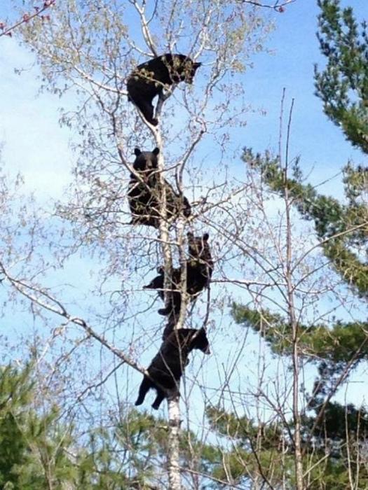 Медведи прилетели!